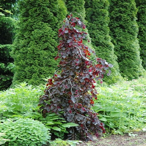 Fagus sylvatica Purple Fountain