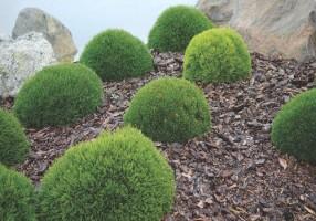 Pinus mugo Pumilio2