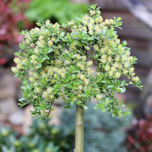 Vŕba zakrslá (Salix simulatrix)