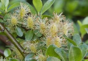 Vŕba zakrslá (Salix simulatrix)4